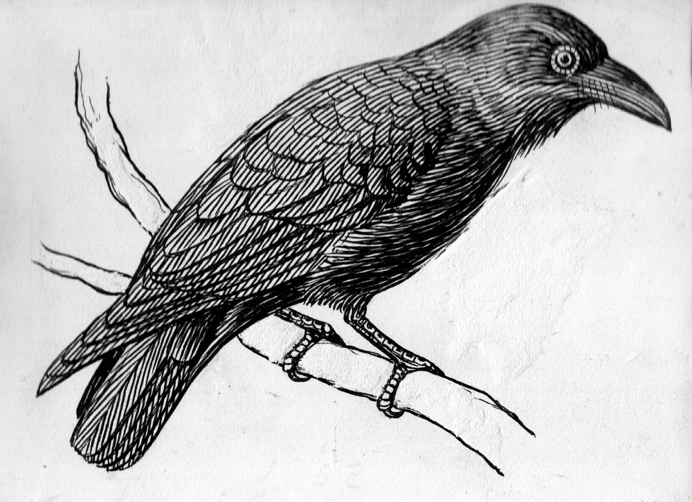 Raven_on_a_branch_(line_art)_(PSF_R750001_(cropped)).png