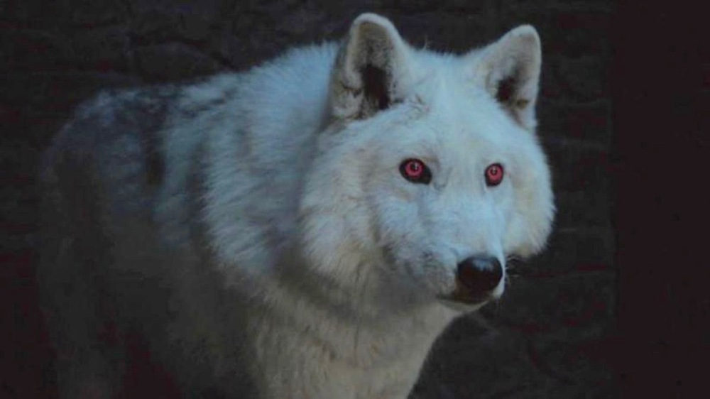 game-of-thrones-season-8-ghost-direwolf (1).jpg